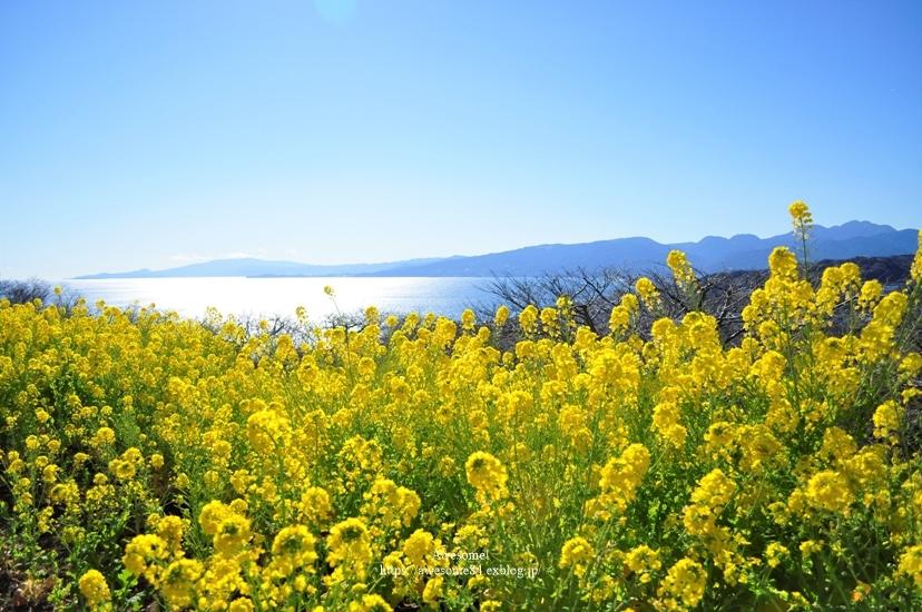 海と菜の花と富士山と。_e0359481_08492233.jpg