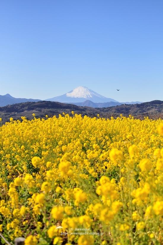 海と菜の花と富士山と。_e0359481_08511742.jpg