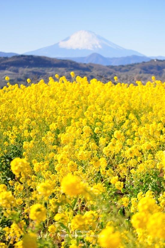 海と菜の花と富士山と。_e0359481_08514313.jpg