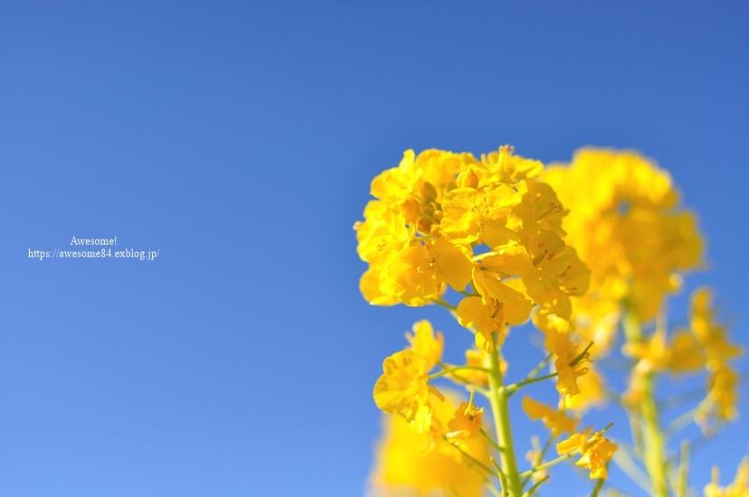 海と菜の花と富士山と。_e0359481_08515737.jpg