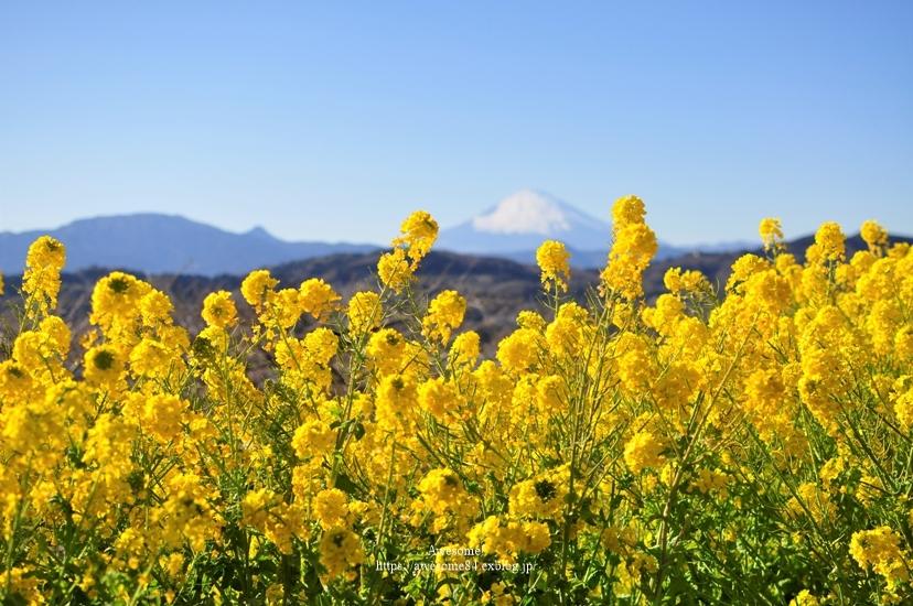 海と菜の花と富士山と。_e0359481_08520166.jpg