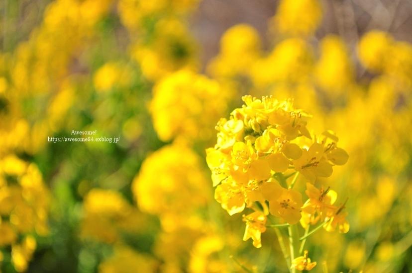 海と菜の花と富士山と。_e0359481_08561431.jpg