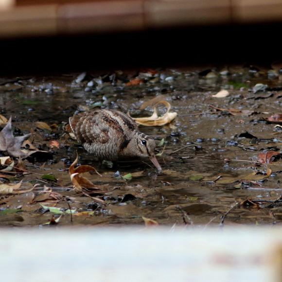 トラツグミ と同じ公園の池に居たヤマシギ   HTN_d0346713_21412860.jpg