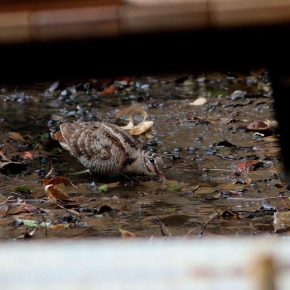 トラツグミ と同じ公園の池に居たヤマシギ   HTN_d0346713_21414173.jpg