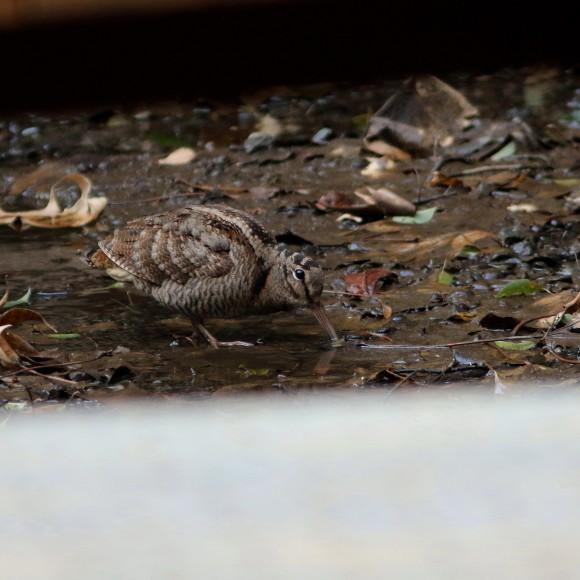 トラツグミ と同じ公園の池に居たヤマシギ   HTN_d0346713_21420483.jpg