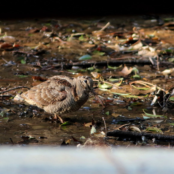 トラツグミ と同じ公園の池に居たヤマシギ   HTN_d0346713_21422115.jpg