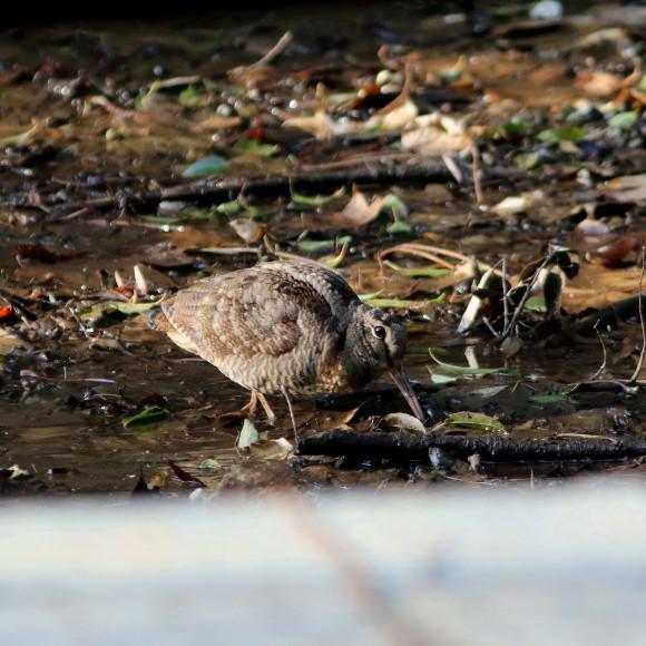 トラツグミ と同じ公園の池に居たヤマシギ   HTN_d0346713_21423538.jpg