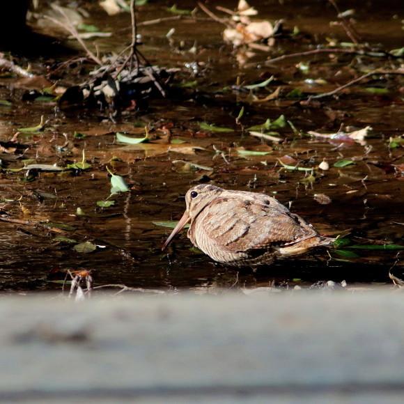 トラツグミ と同じ公園の池に居たヤマシギ   HTN_d0346713_21424724.jpg
