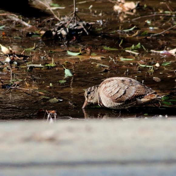 トラツグミ と同じ公園の池に居たヤマシギ   HTN_d0346713_21430017.jpg