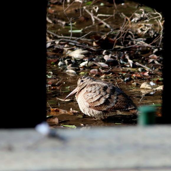 トラツグミ と同じ公園の池に居たヤマシギ   HTN_d0346713_21431437.jpg