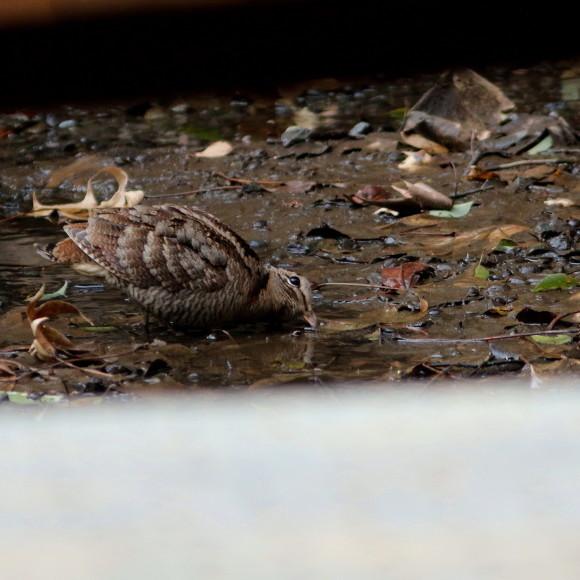 トラツグミ と同じ公園の池に居たヤマシギ   HTN_d0346713_21435792.jpg