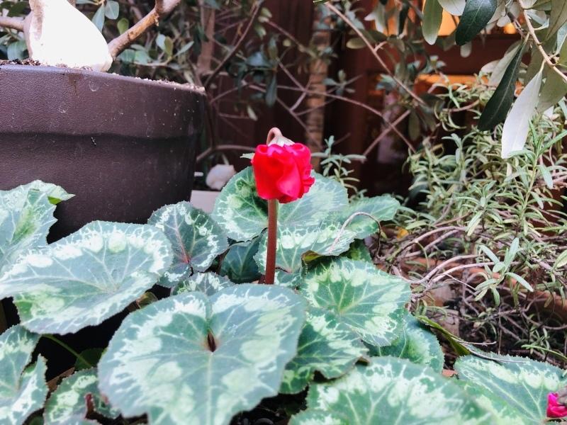シクラメン咲いた。&1月30日(水)のランチメニュー_d0243849_14400583.jpeg