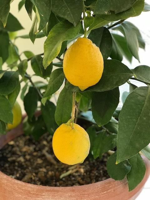 !!レモンの収穫!!_b0263390_15571500.jpg