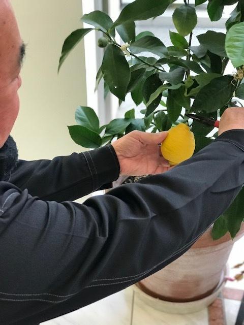 !!レモンの収穫!!_b0263390_15574831.jpg