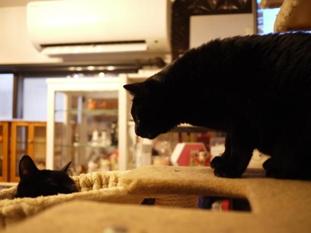 ハンモック猫 てぃぁらめりぃぽぴんず編。_a0143140_18545201.jpg