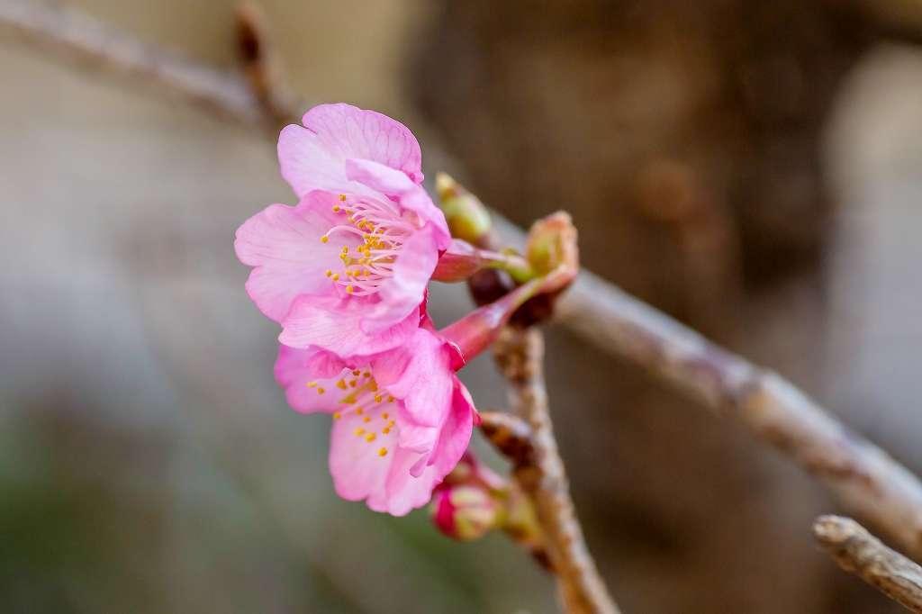我が家のロウバイと桜_f0044056_16455136.jpg