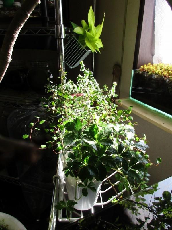 植物「お分かりいただけただろうか……(Replay.....」_b0362459_13255792.jpg