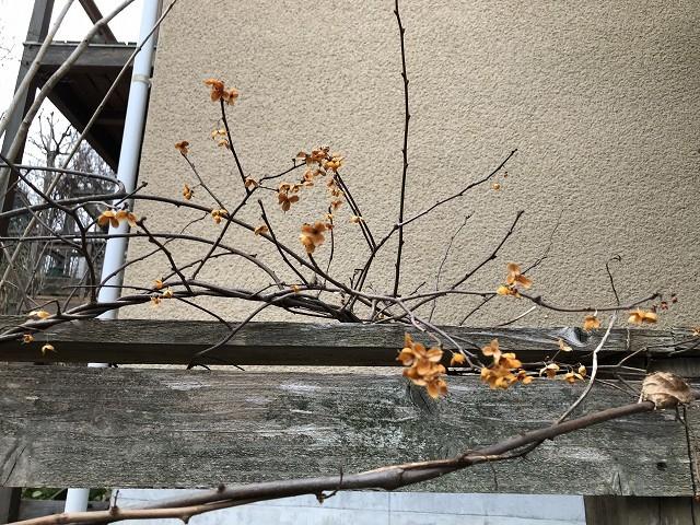 雪になるかも…1月31日の庭。_c0124100_18002122.jpg