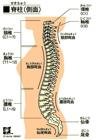正しい姿勢は尾骨から? 〜ある日の施術より〜_e0073240_15532787.jpg