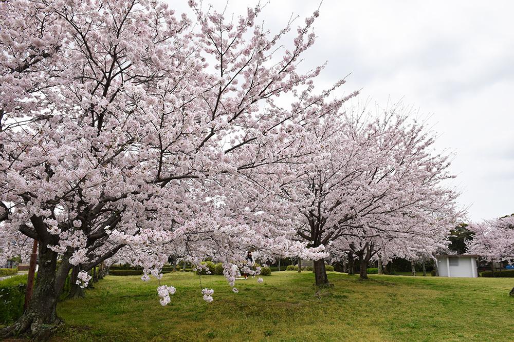 桜満開の赤穂城を歩く。 その1 「大手門~武家屋敷跡」_e0158128_15262094.jpg