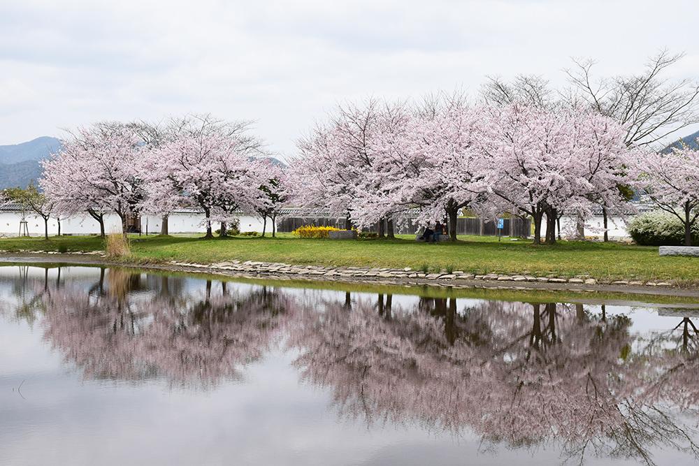 桜満開の赤穂城を歩く。 その4 「元禄桜苑」_e0158128_18163433.jpg