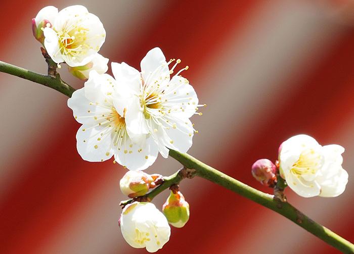 荏柄天神社の梅_b0145398_23321559.jpg