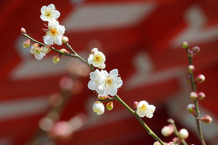 荏柄天神社の梅_b0145398_23343237.jpg