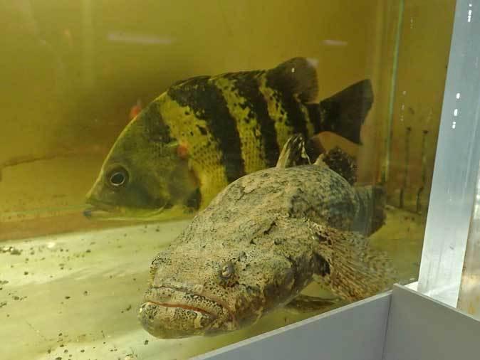 東京タワー水族館~アジア・オセアニア熱帯魚エリアの多彩な生物たち_b0355317_21081709.jpg