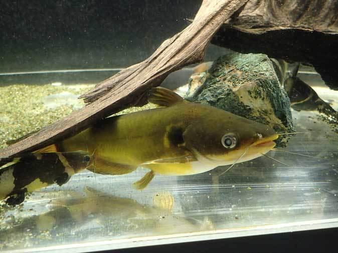 東京タワー水族館~アジア・オセアニア熱帯魚エリアの多彩な生物たち_b0355317_21135554.jpg