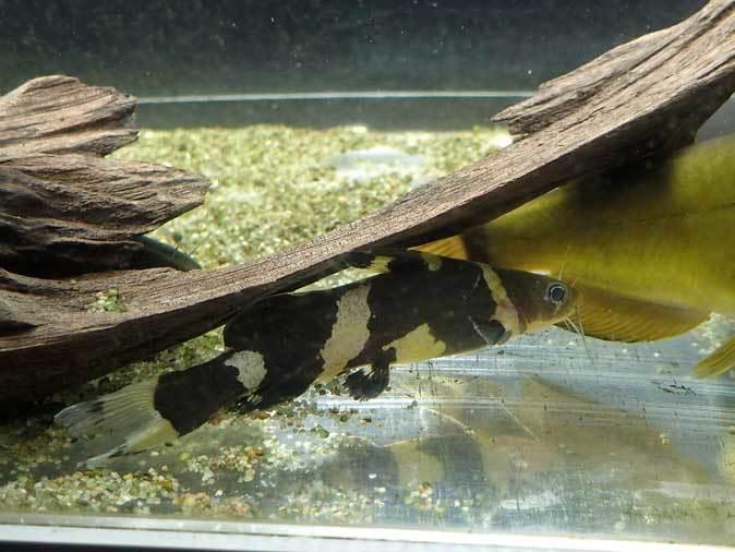 東京タワー水族館~アジア・オセアニア熱帯魚エリアの多彩な生物たち_b0355317_21171242.jpg