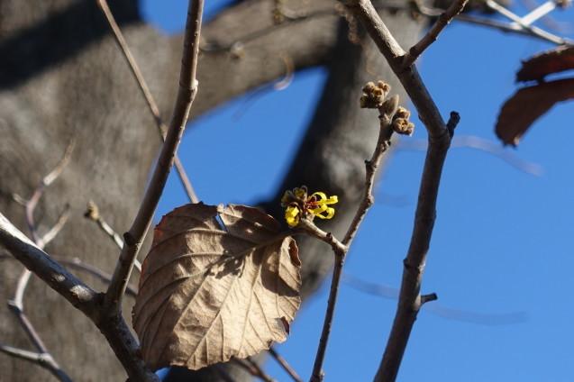 ようやくマンサクが咲き始めました_e0232277_15065317.jpg