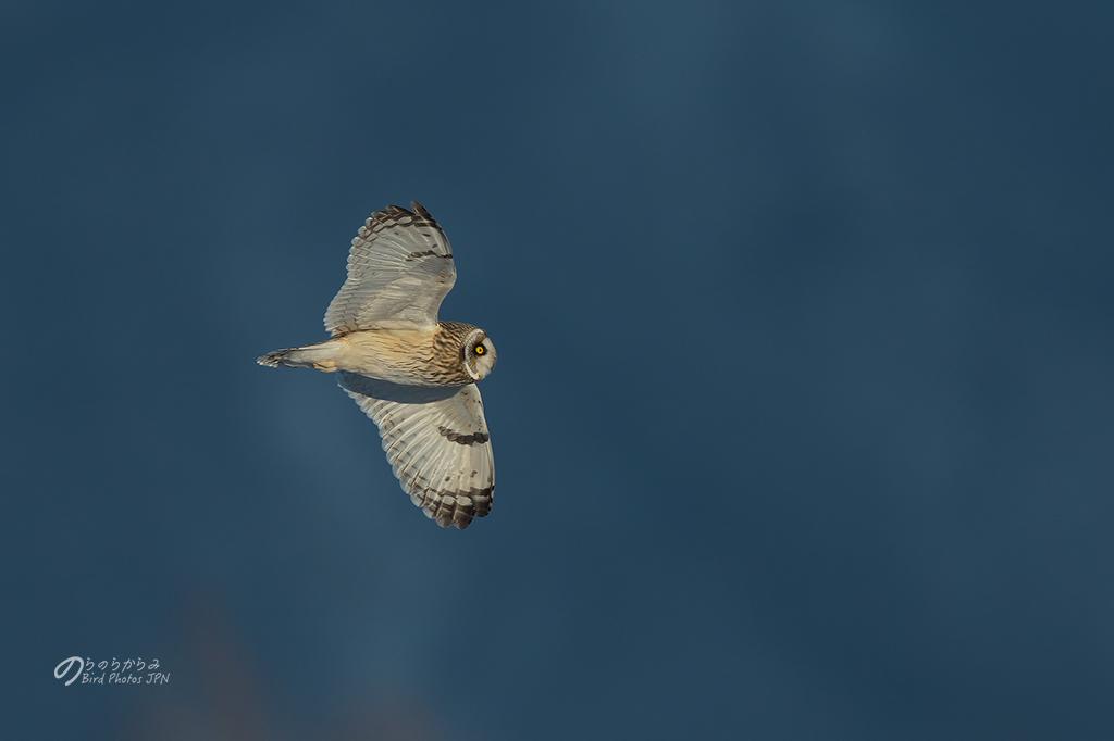 Short-eared Owl of Japan 2019 winter._d0360547_10401174.jpg