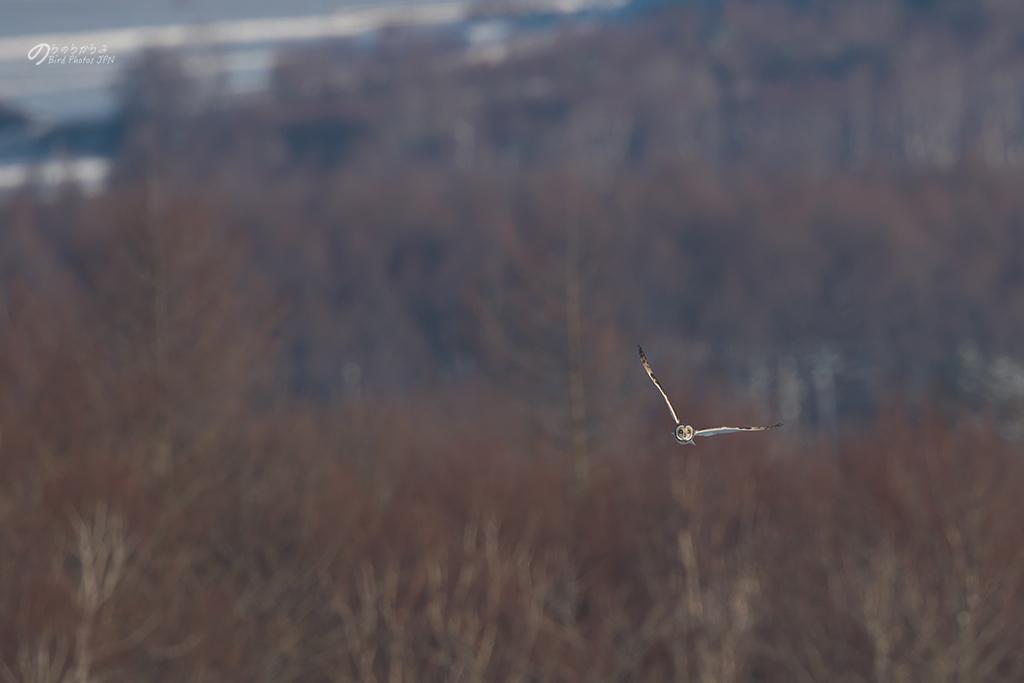 Short-eared Owl of Japan 2019 winter._d0360547_10404168.jpg