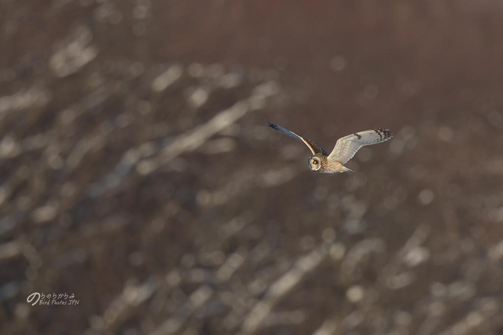 Short-eared Owl of Japan 2019 winter._d0360547_10410473.jpg