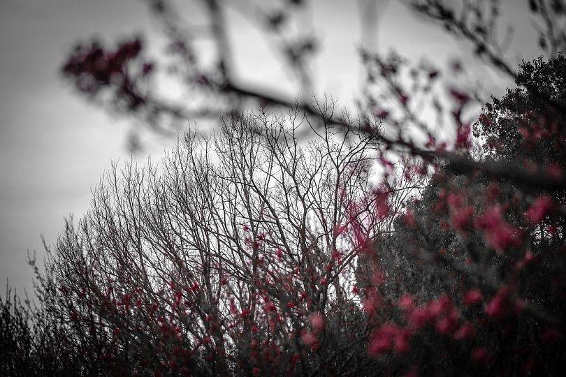 冬が終わる日の紅梅_d0353489_16003207.jpg