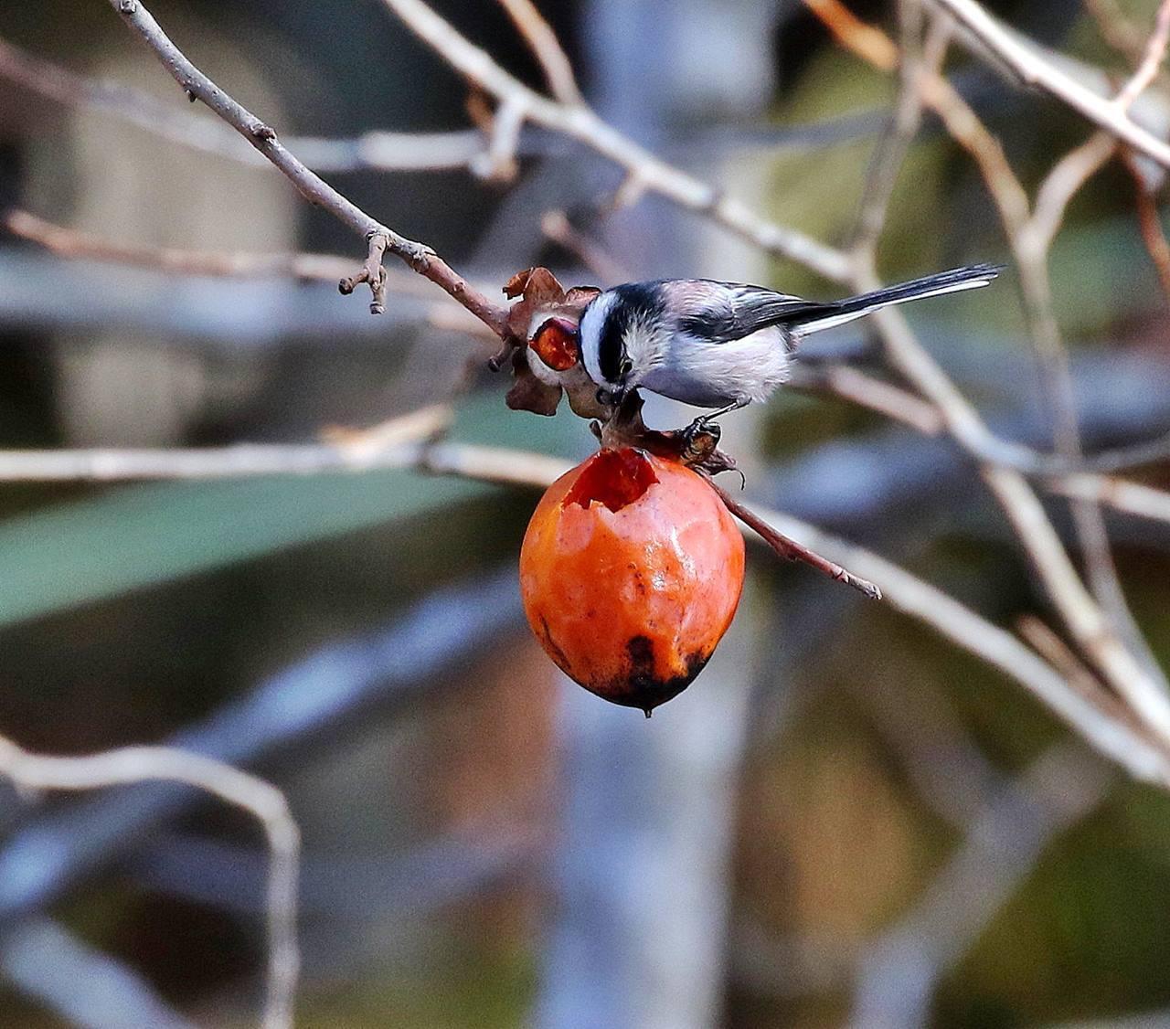 熟れた柿にやって来た野鳥たち・・・_c0213607_22052102.jpg