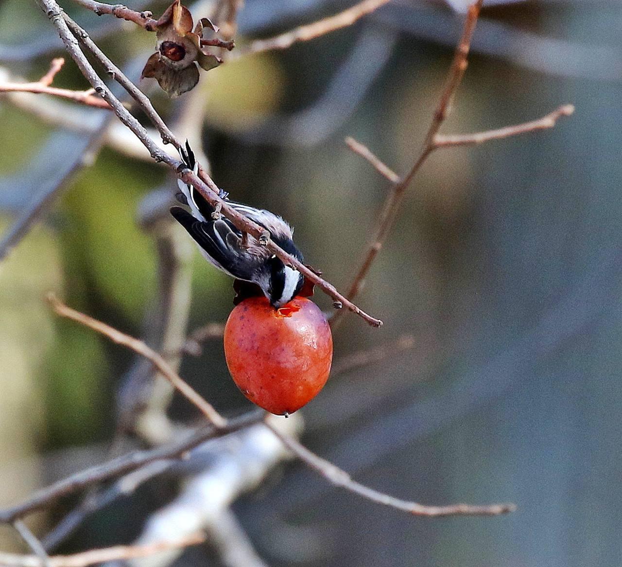 熟れた柿にやって来た野鳥たち・・・_c0213607_22052635.jpg