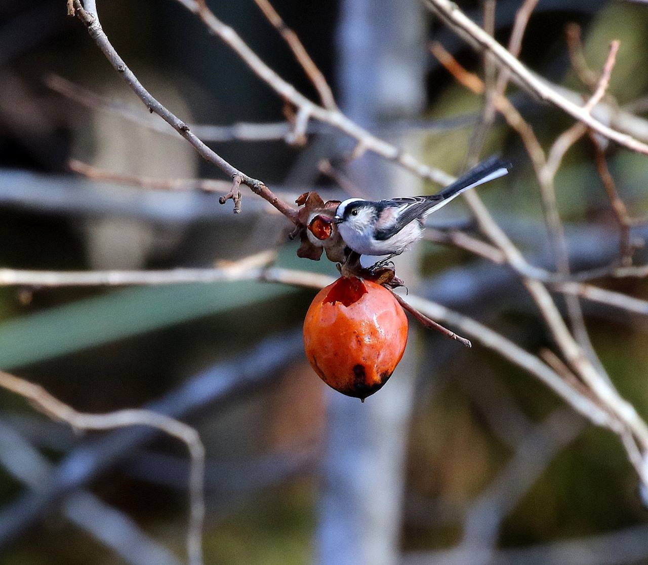 熟れた柿にやって来た野鳥たち・・・_c0213607_22053068.jpg