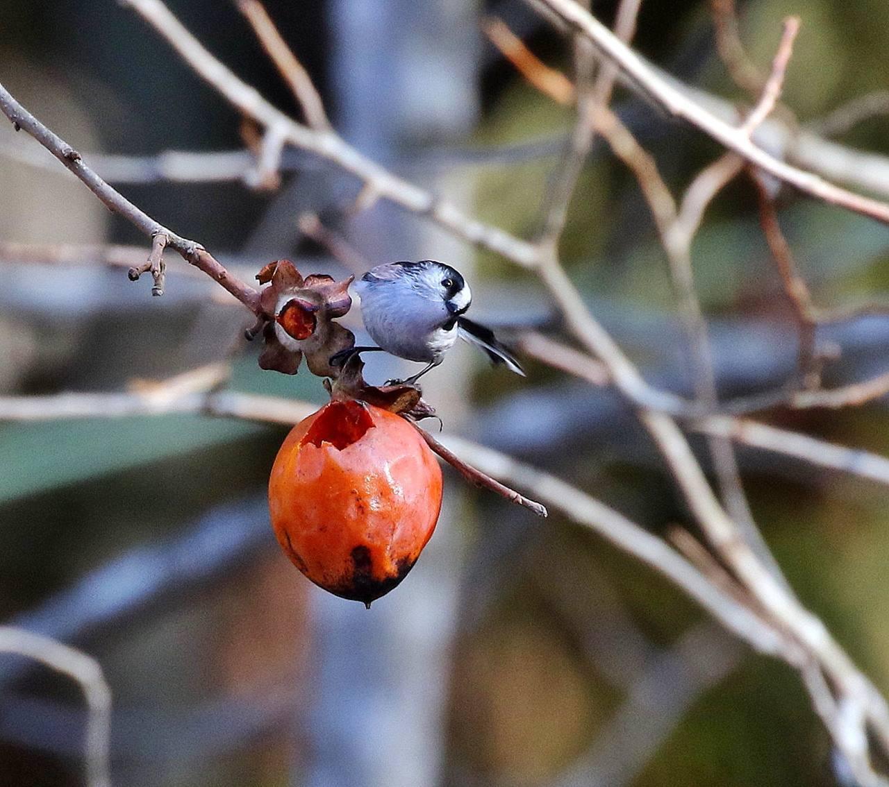 熟れた柿にやって来た野鳥たち・・・_c0213607_22053331.jpg