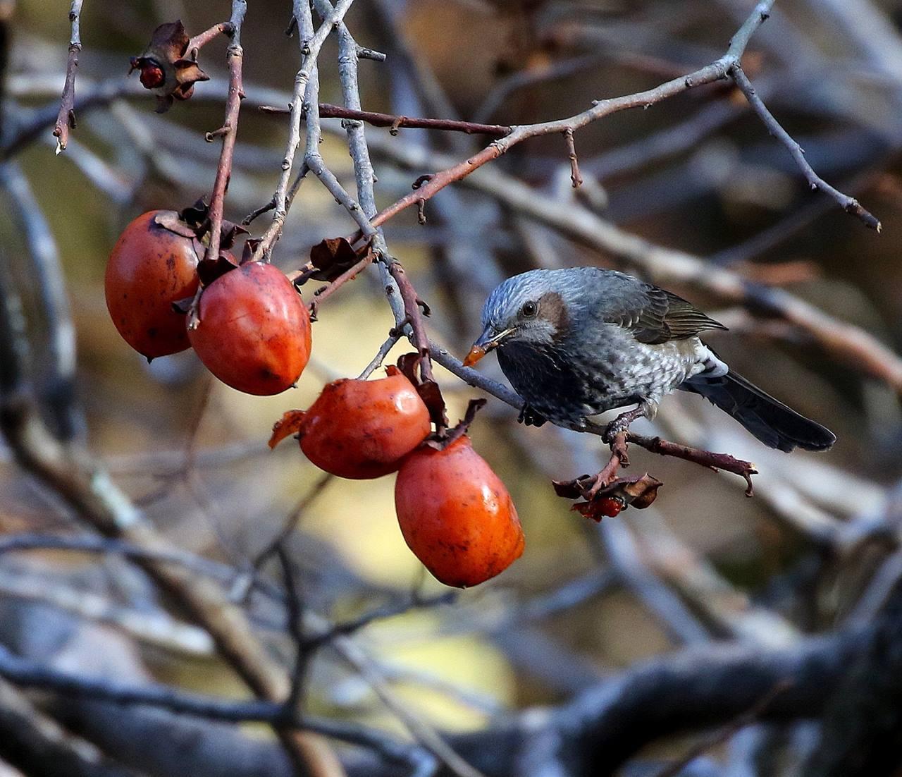 熟れた柿にやって来た野鳥たち・・・_c0213607_22053708.jpg