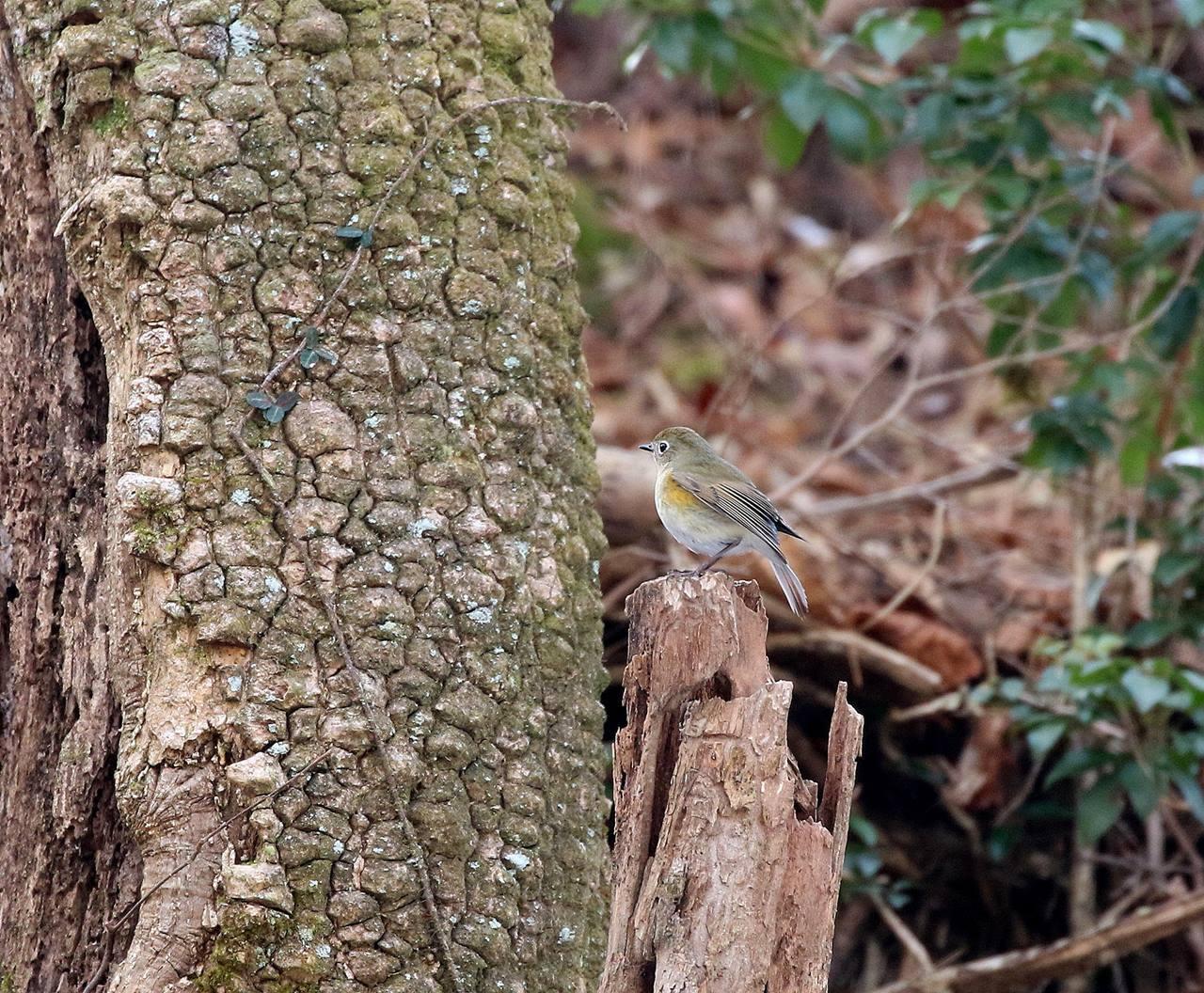 熟れた柿にやって来た野鳥たち・・・_c0213607_22054576.jpg
