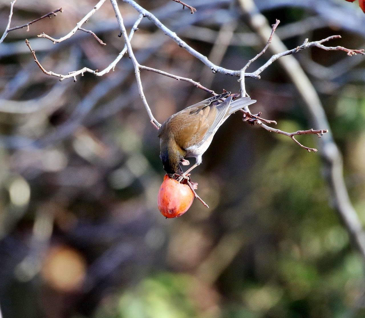 熟れた柿にやって来た野鳥たち・・・_c0213607_22063622.jpg