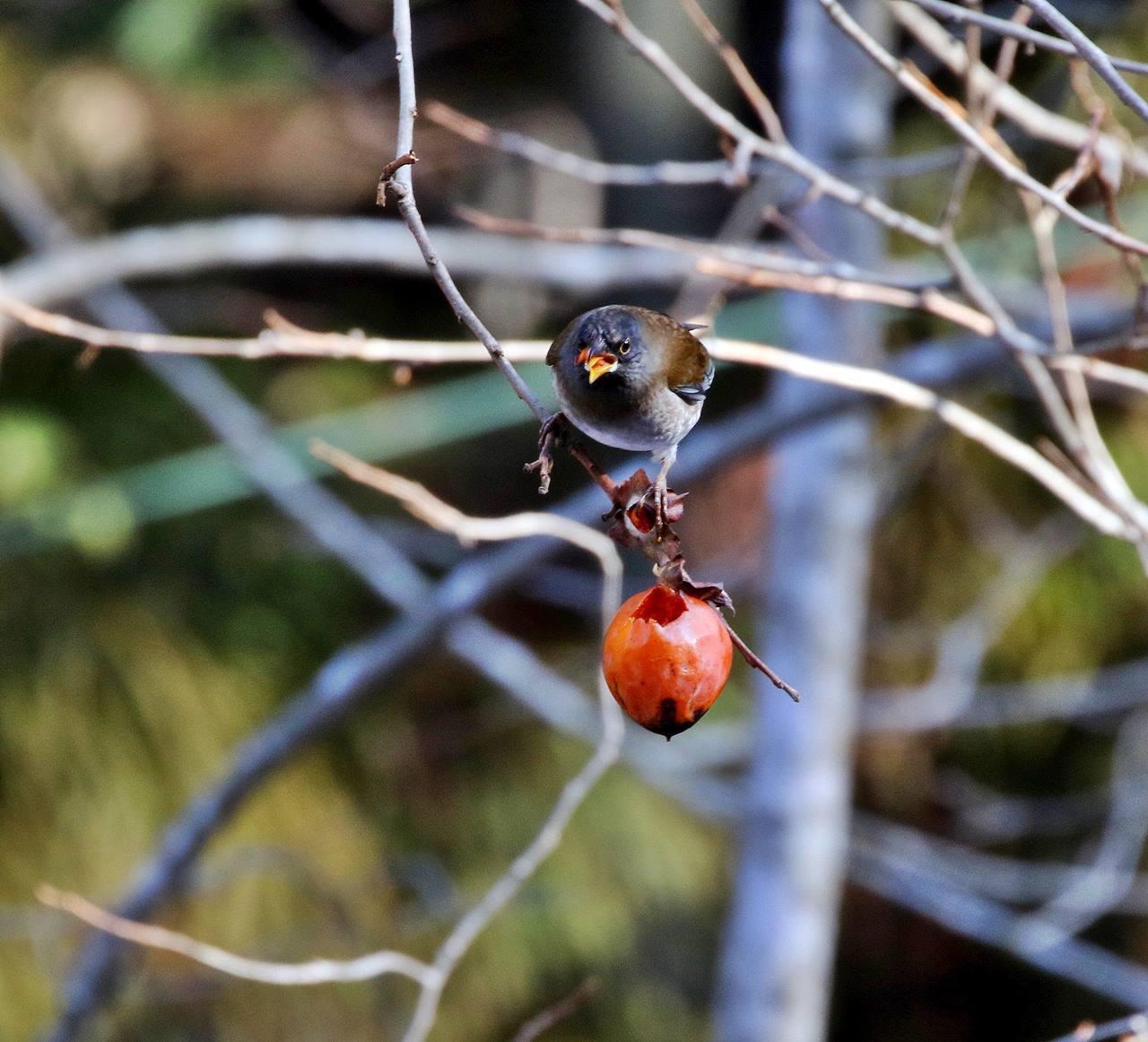 熟れた柿にやって来た野鳥たち・・・_c0213607_22064359.jpg