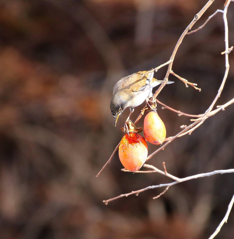 熟れた柿にやって来た野鳥たち・・・_c0213607_22064717.jpg