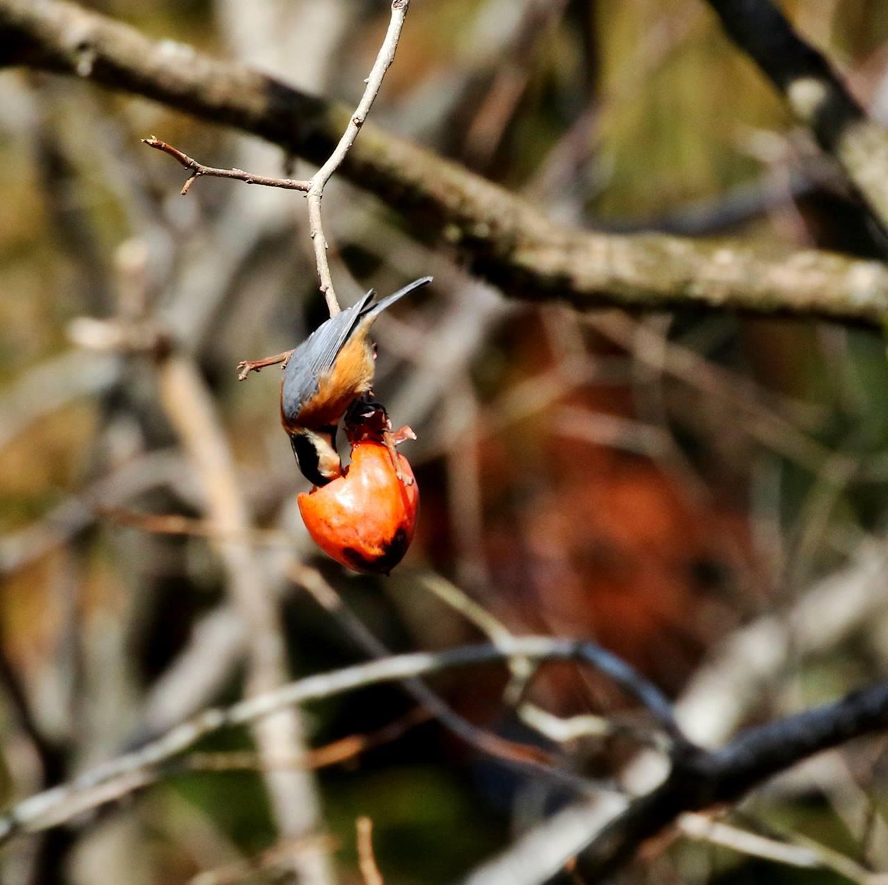 熟れた柿にやって来た野鳥たち・・・_c0213607_22071866.jpg