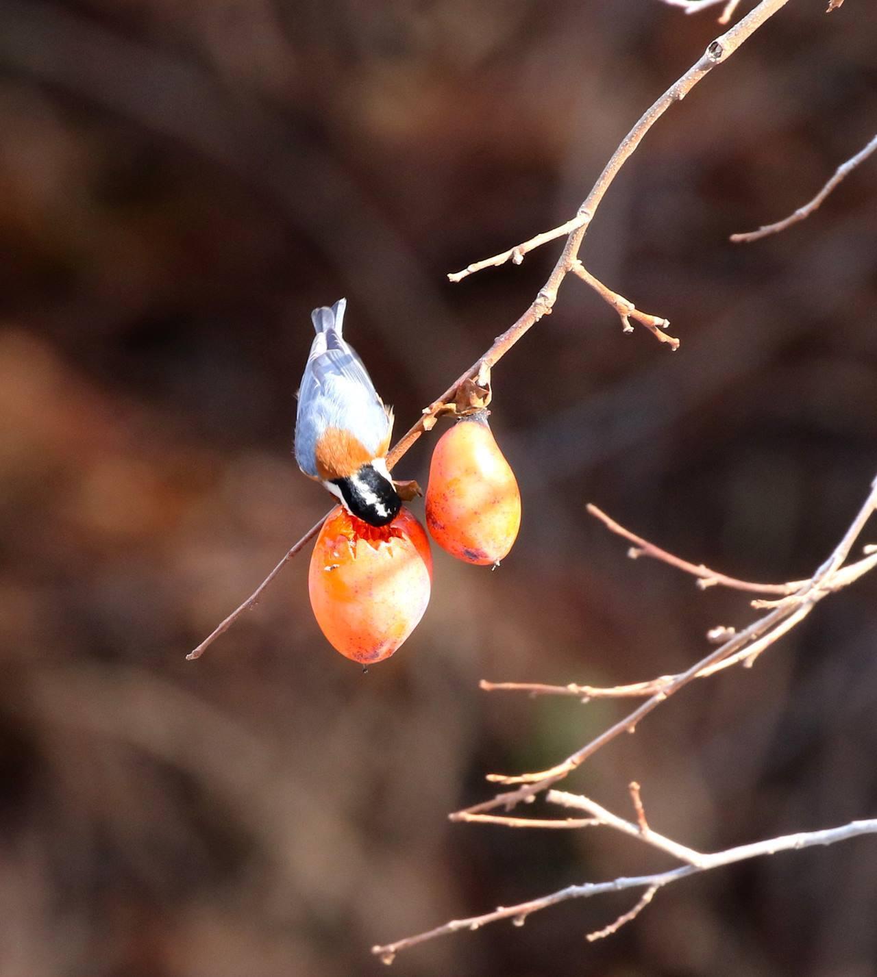 熟れた柿にやって来た野鳥たち・・・_c0213607_22072244.jpg