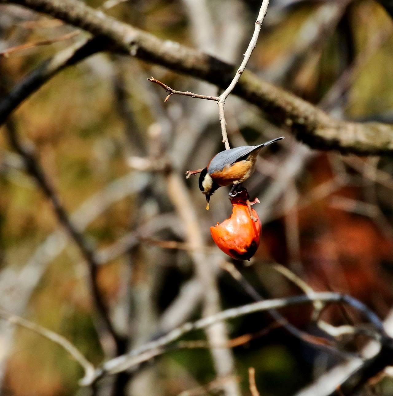 熟れた柿にやって来た野鳥たち・・・_c0213607_22072578.jpg