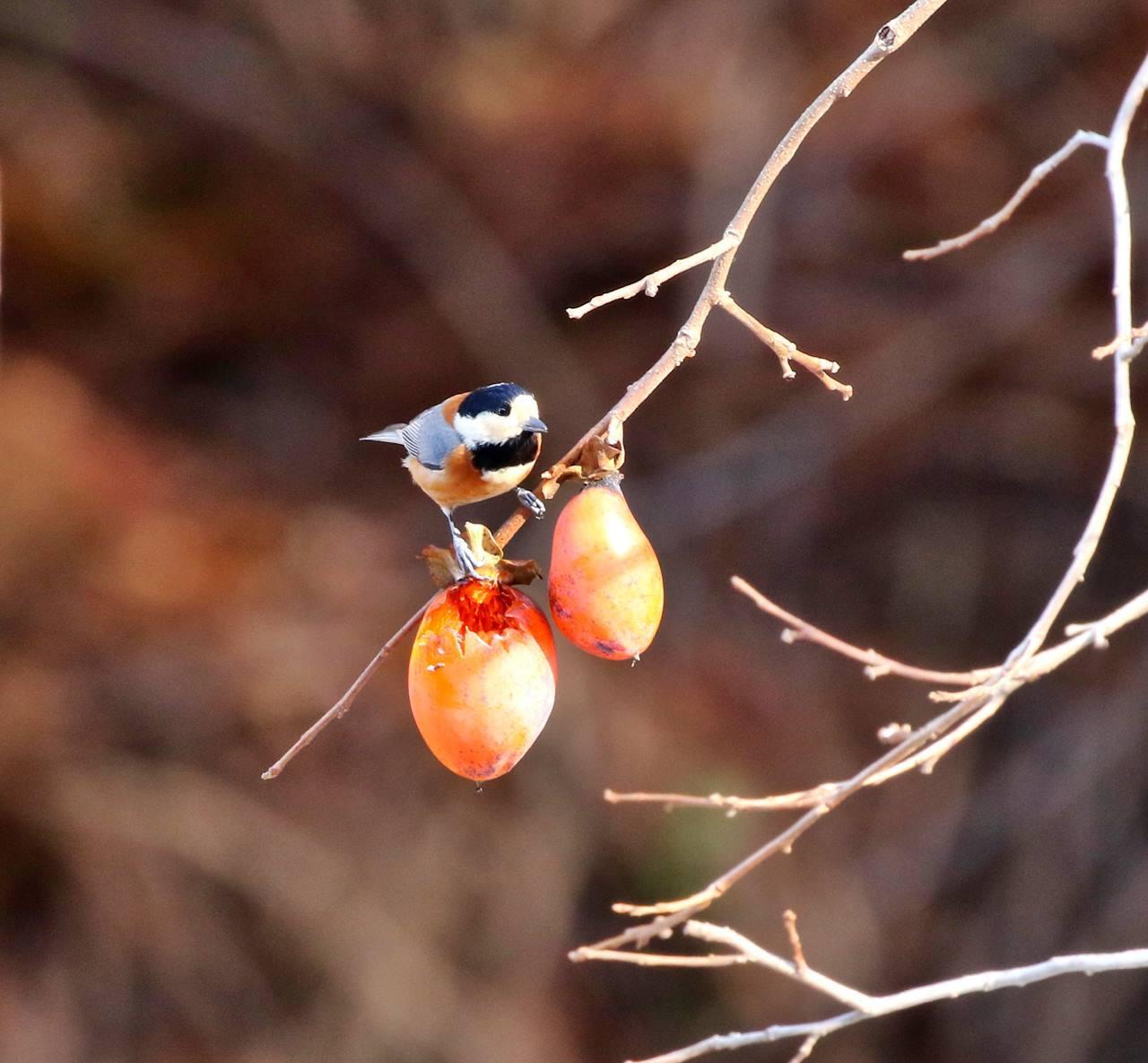 熟れた柿にやって来た野鳥たち・・・_c0213607_22072821.jpg