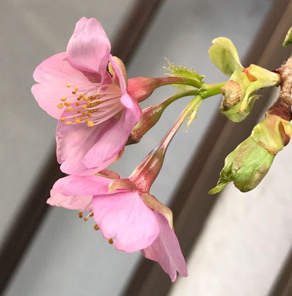 梅と桜_d0068664_14232354.jpg