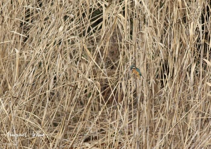 河川敷公園のカワセミさん(^^)/_a0355908_19511971.jpg